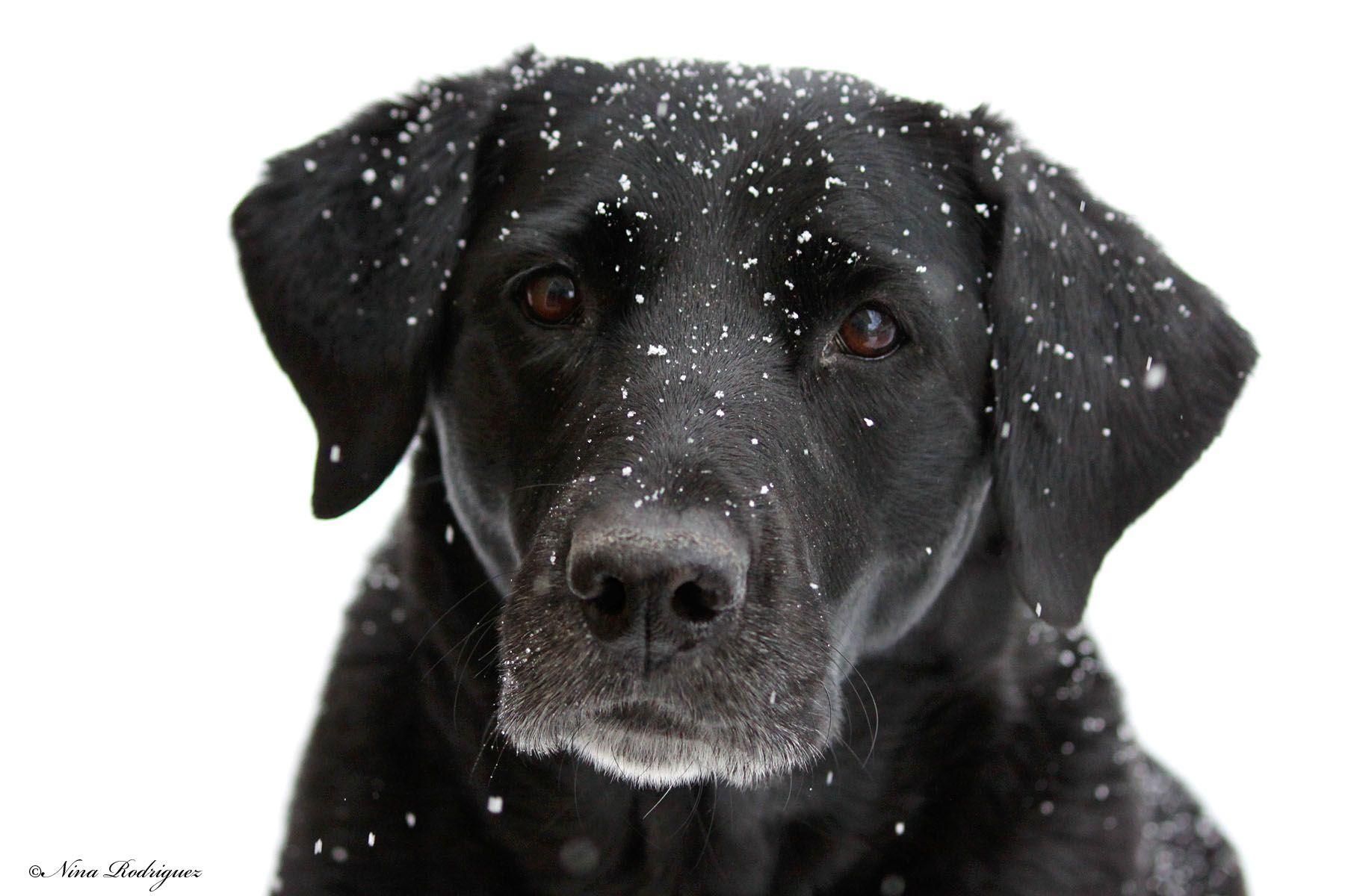 Black lab white snow black lab puppies freckles