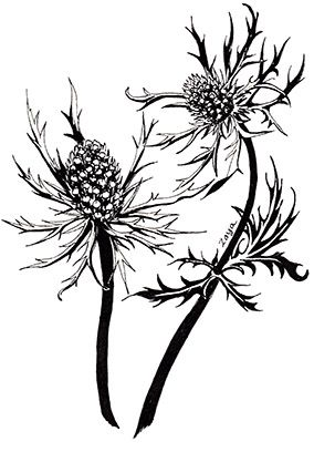 sea holly flowers july 2016 ink drawing by zoya makarova art ink