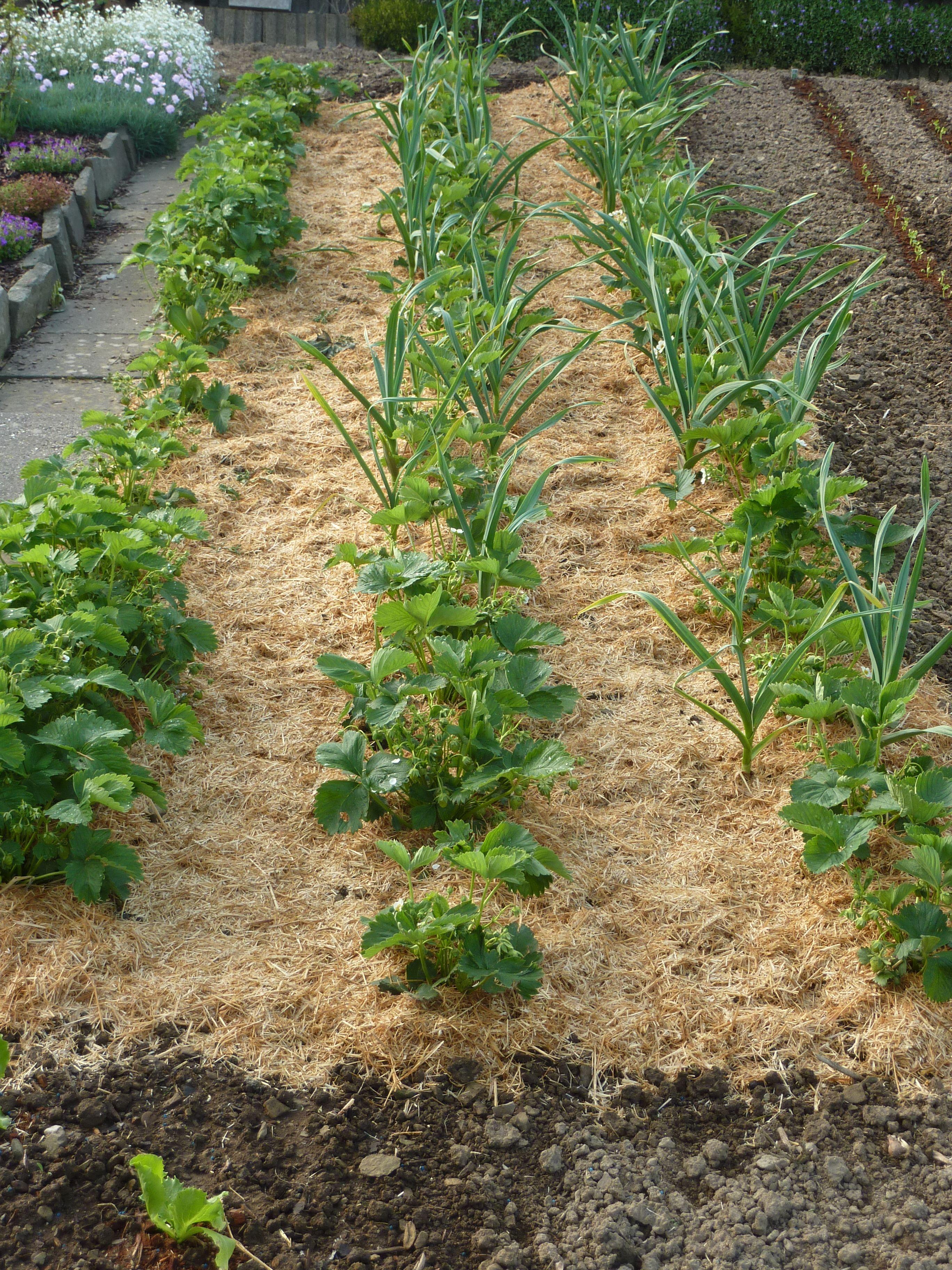 Erdbeerpflanzen Mit Stroh Unterlage Erdbeerpflanzen