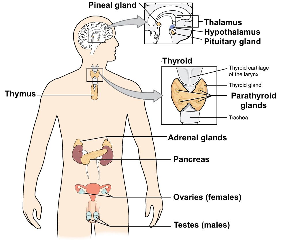 Diagram Of The Major Endocrine Glands Includes Both Male And Female Glands Endocrine System Nervous System Diagram Endocrine