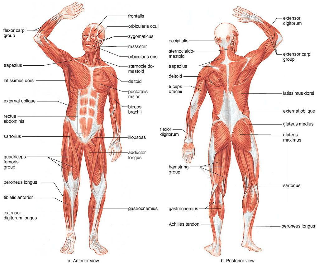 The Muscular System Pictures Human Body Anatomy Pinterest
