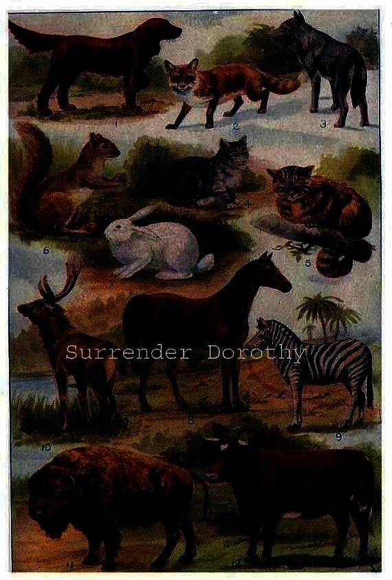 Order Natural History Lithograph Art 1915 Mammal Chart Cat Rodent Horse Cattle Animal Showing Order Natural History Lithograph Art 1915 Edwardian Era Mammal Chart Cat Rod...