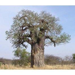 Adansonia digitata (Baobab) seeds