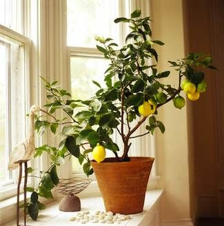 Growing Citrus Tree Indoors Is Easier Than You Might Think Even In Northern Climes All You Need To Do Is Fol Indoor Lemon Tree Citrus Trees House Tree Plants