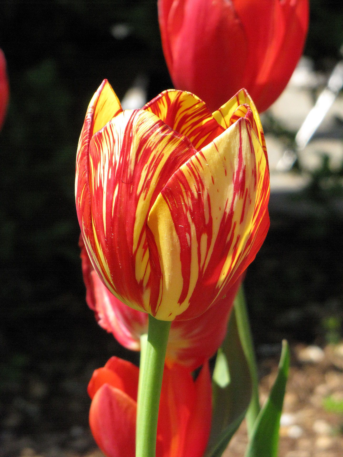variegated colors produced by tulip breaking virus