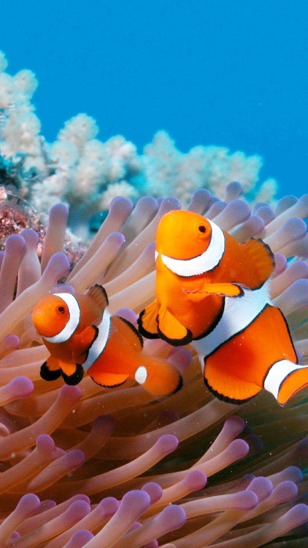 Clown Fish Clown Fish Clownfish And Sea Anemone Fish Wallpaper