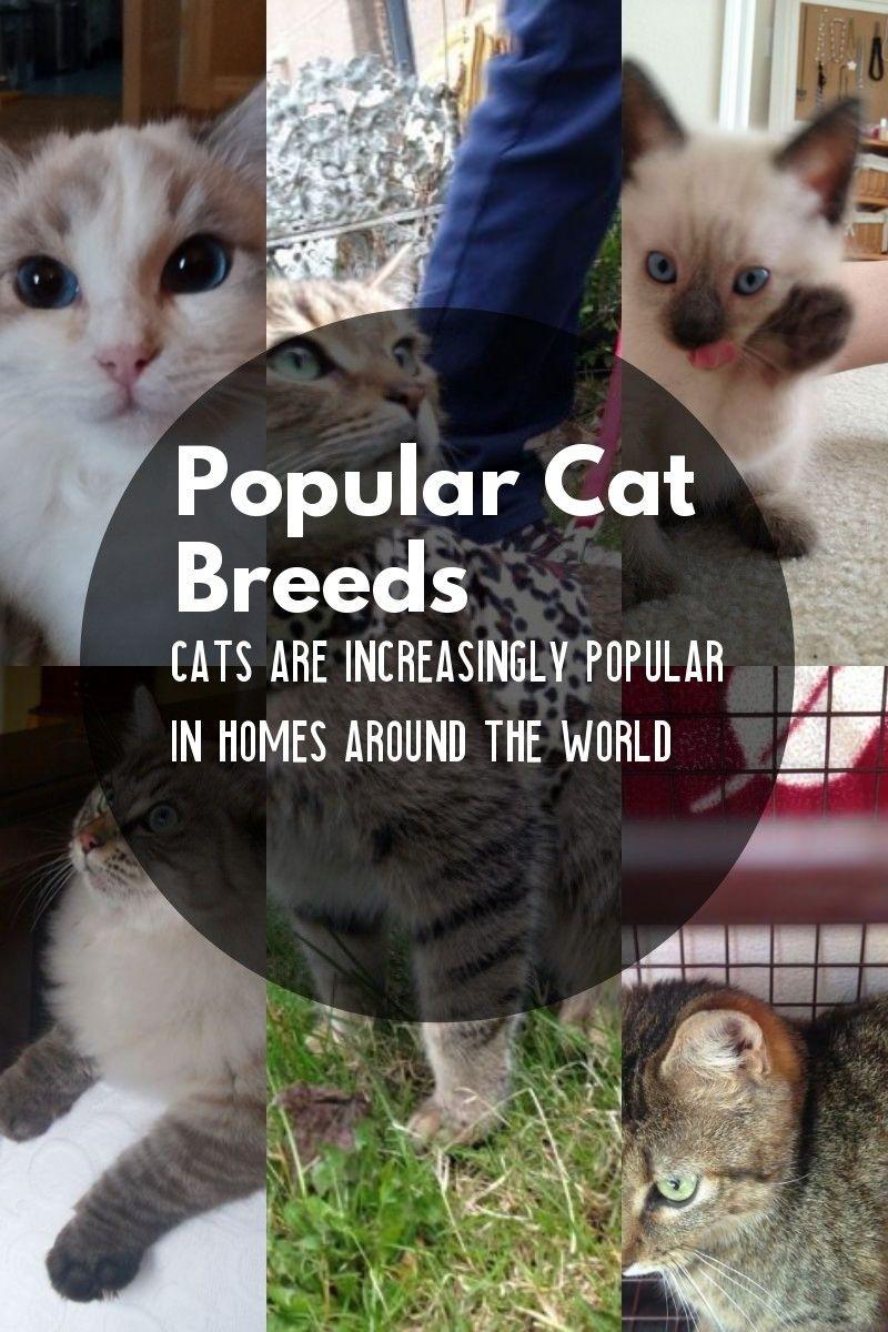 The Most Common Cat Breeds Cat Breeds Popular Cat Breeds Common Cat Breeds