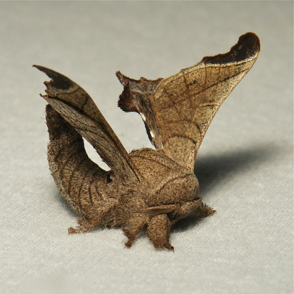 Silk Moth (Bombyx Incomposita, Bombycidae)