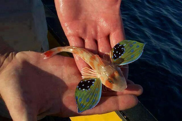 A flying fish , also known as a Sea Robin.