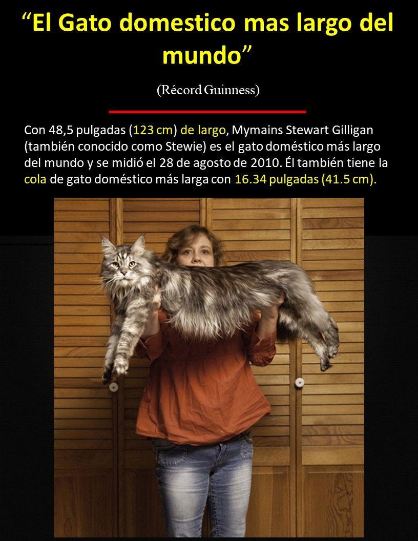 El Gato Domestico Mas Largo Del Mundo Guinness Poster Movie Posters