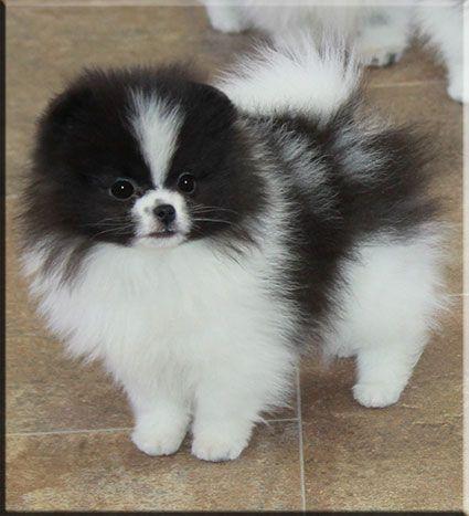 Beautiful Pomeranian Pomeranian Puppy Pomchi Puppies Puppies