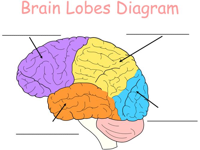 Brain Lobes Diagram in 2020 | Brain lobes, Brain lobes ...