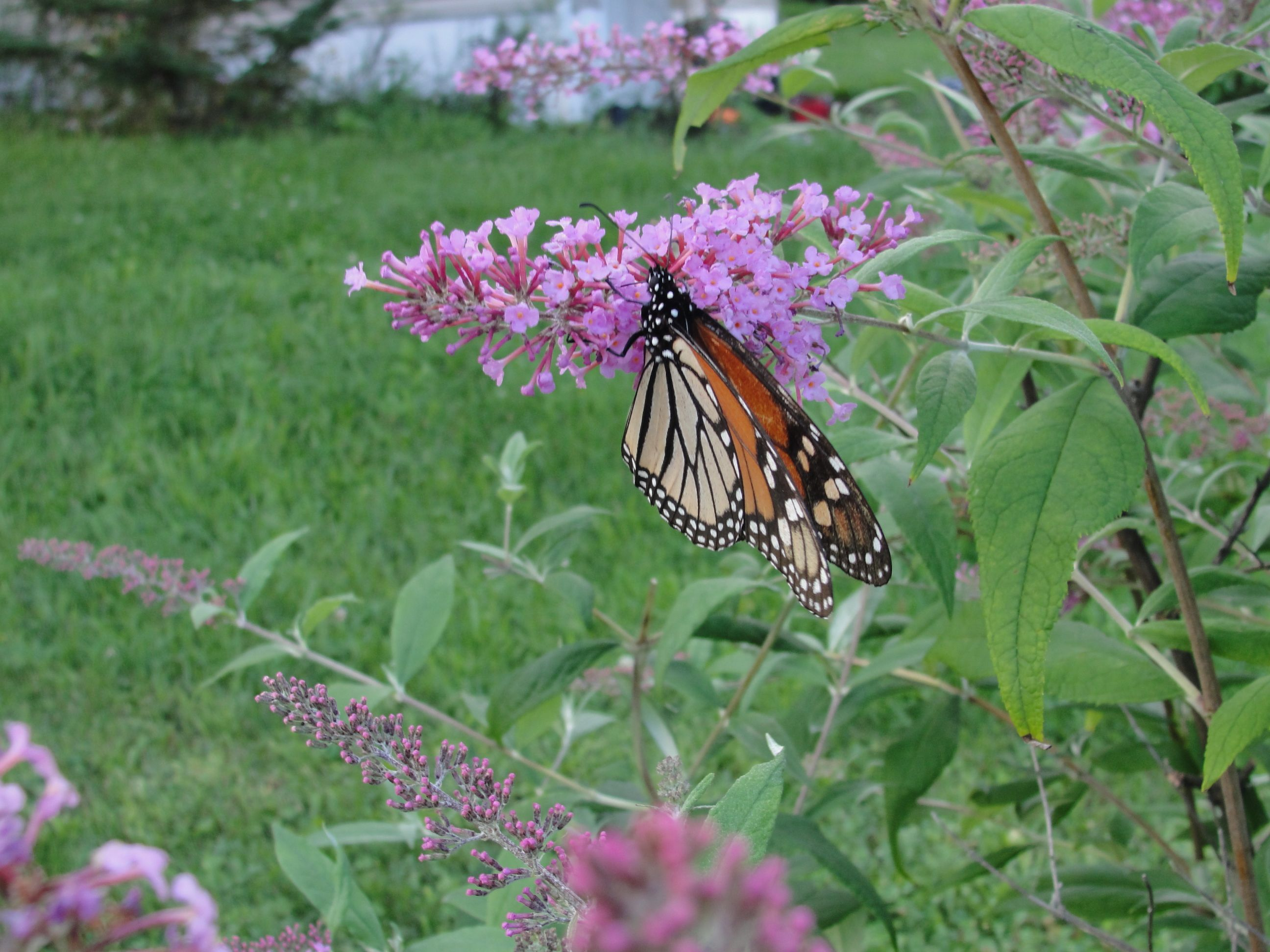 Just a butterfly, beautiful monarch, I found on my bush(: