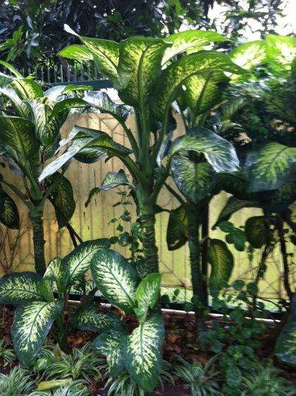 Really large dieffenbachia plants for Planta ornamental venenosa dieffenbachia