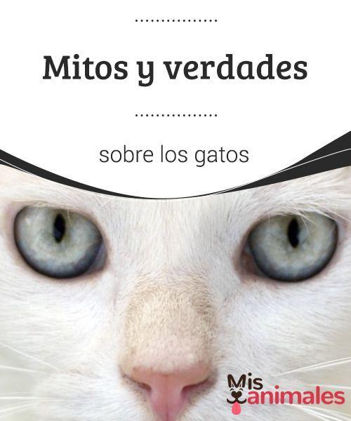 Mitos y verdades sobre los gatos. Hay muchos rumores que circulan sobre nuestros amados mininos, mira algunos de los mitos y verdades sobre los gatos. #mitos #verdades #gatos #rumores #mininos