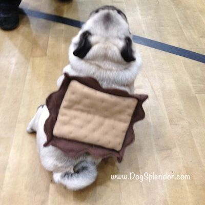 Pug O Ween A Plethora Of Pugs In Costumes Dogsplendor Pug Puppies Pug Puppies For Sale Black Pug Puppies