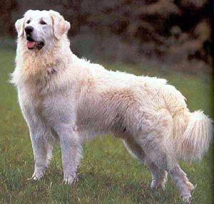 Kuvasz Dog. So beautiful!