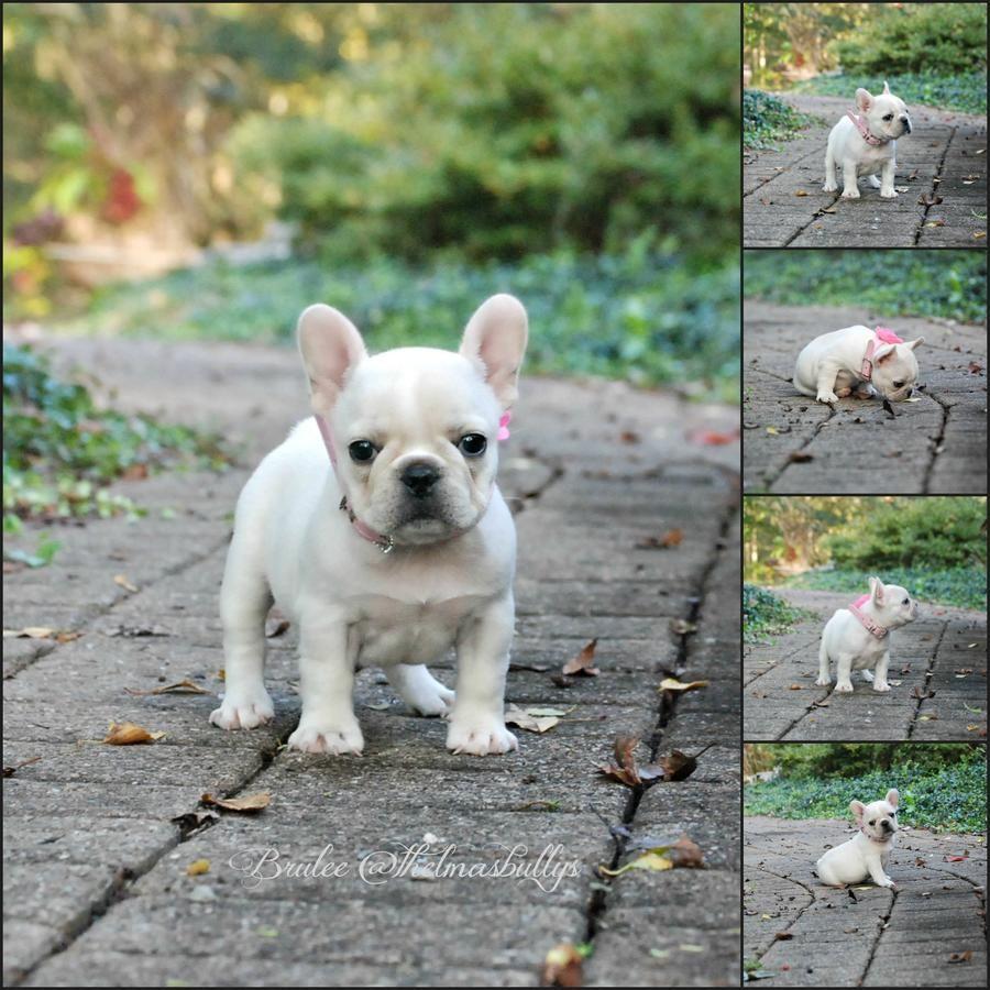 Brulee French Bulldog Puppies French Bulldog French Bulldog