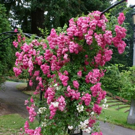 Super Dorothy Perkins Climbing Rose   Zones 5 10, Continual Blooming, Full  Sun