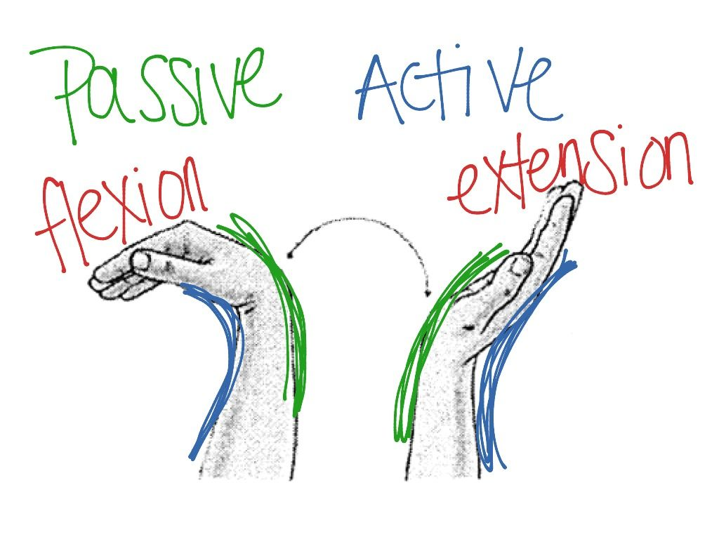 Passive And Active Insufficiency Physical Therapy Pinterest Pin Labeled Diagram On