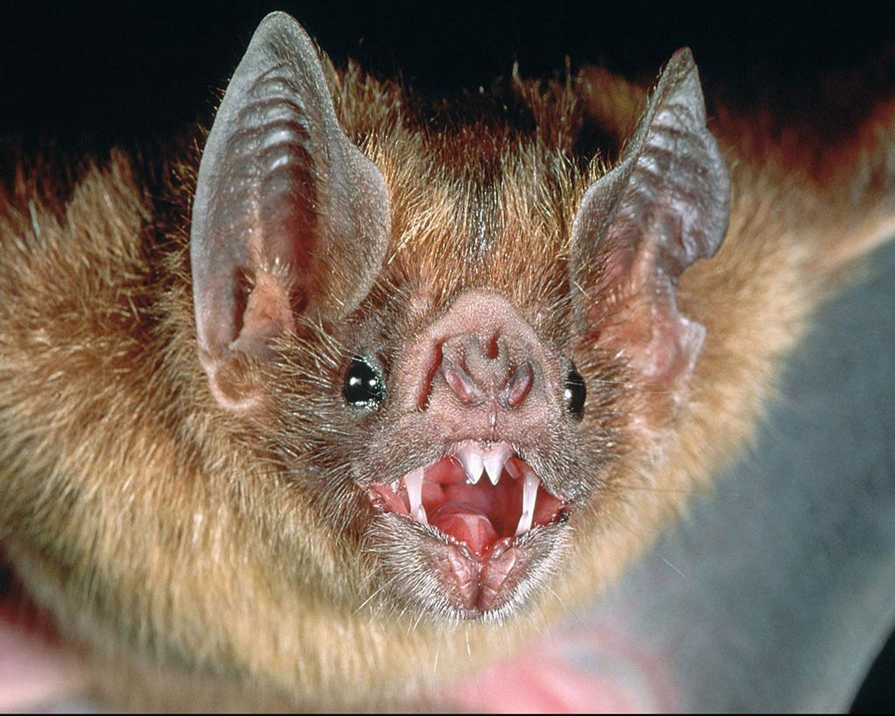A Close Up Of The Head Vampire Bat Animals Pinterest How To Build Nocturnal Whisker Scary