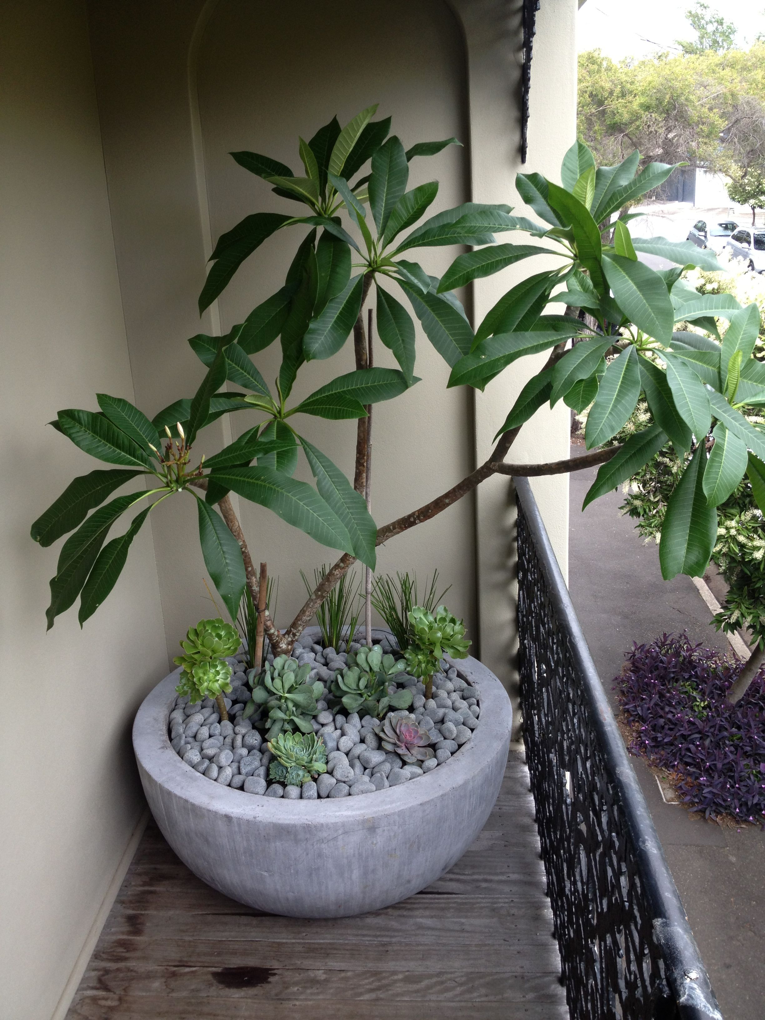Frangipani In Balcony Planter Add Succulents For Extra