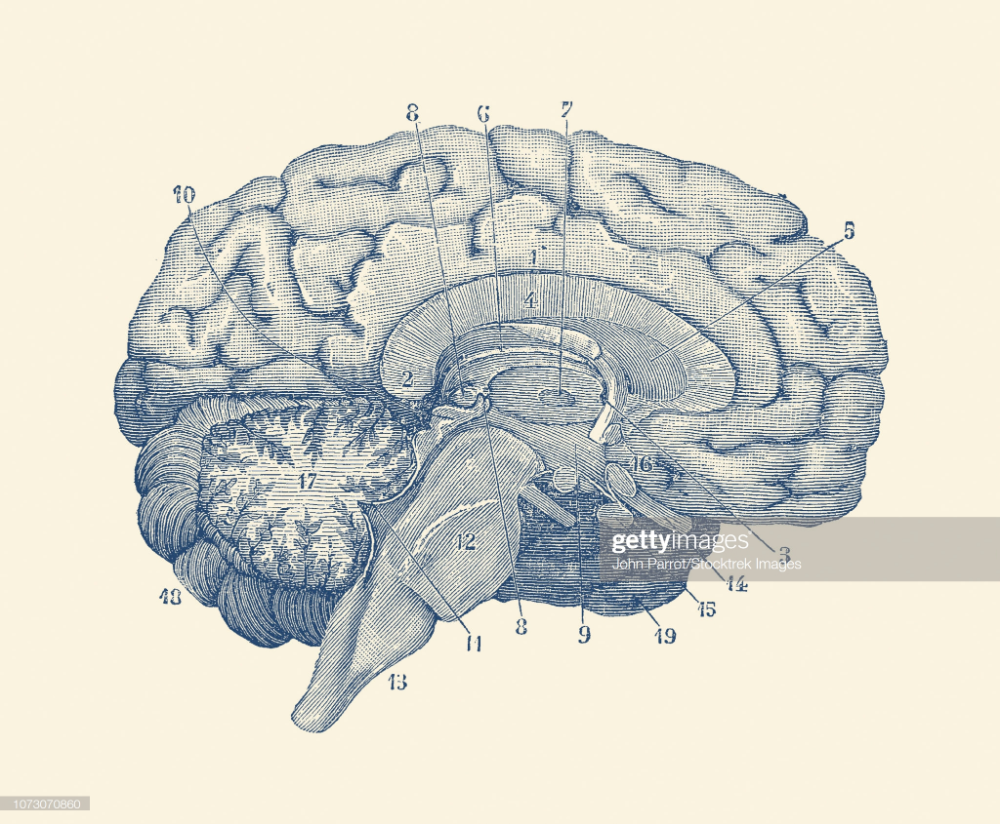 Vintage anatomy print showing a diagram of the human brain ...