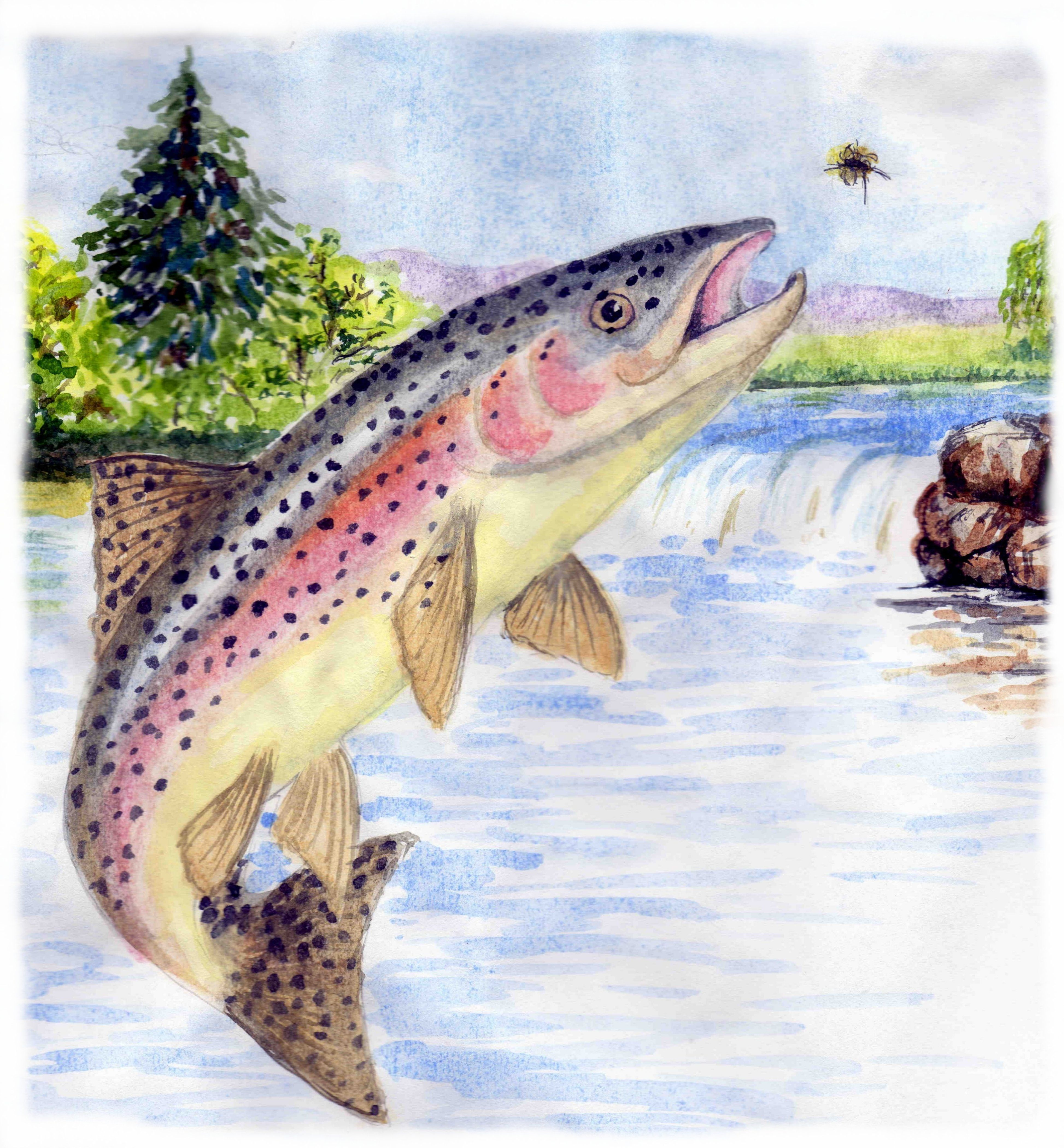 Rainbow trout are generally feeding on underwater food ...
