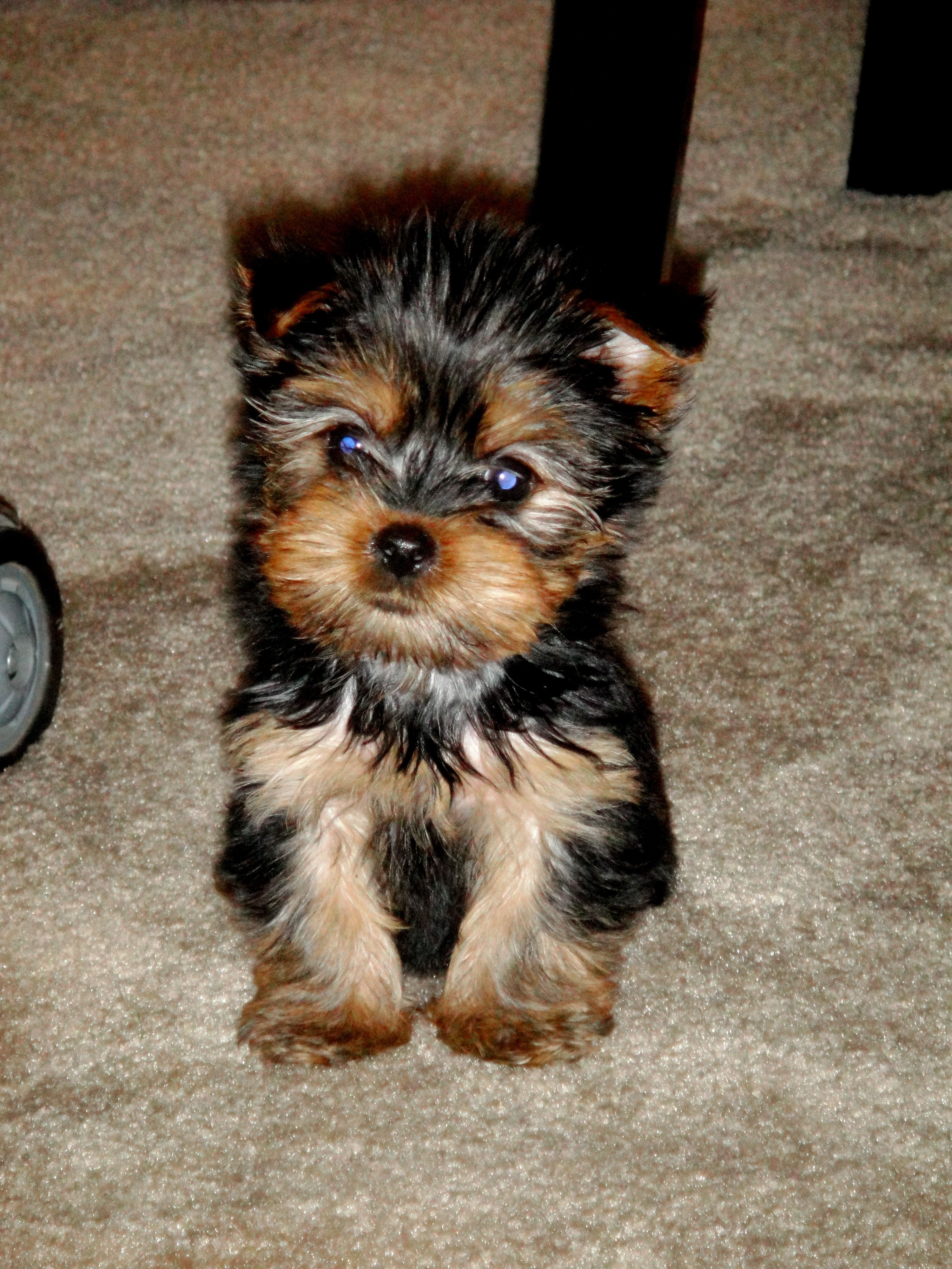 What A Little Munchkin Looks Like Jolie As A Puppy Yorkie Puppy For Sale American Dog Yorkie Puppy