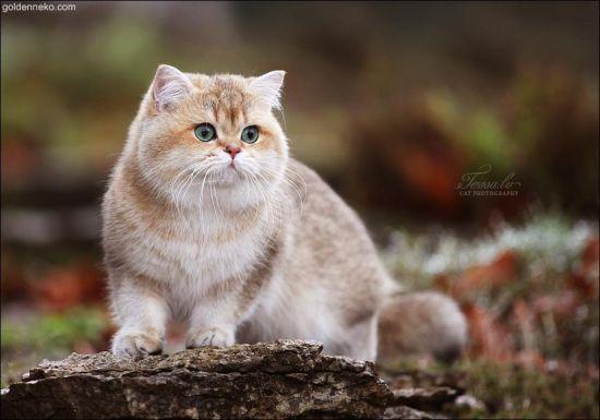 Golden Corrado Of Britain Yard British Shorthair Kittens