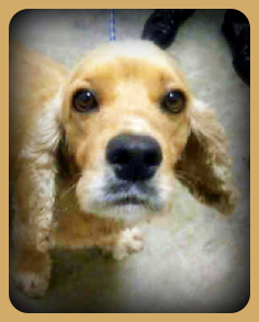 Thea Cocker Spaniel Rescue Of Austin And San Antonio Cocker Spaniel Spaniel Rescue Dog Adoption