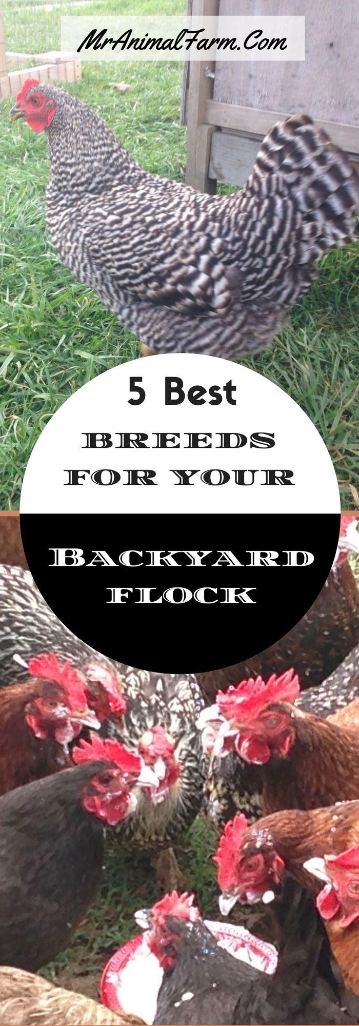 5 Best Breeds For Your Backyard Flock   EBook