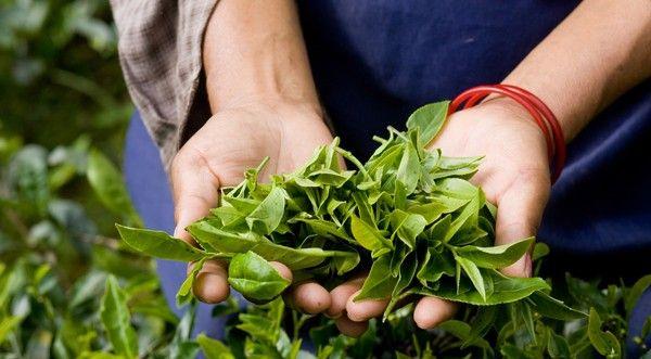 Trà Darjeeling ở Ấn Độ(tiếp theo)Đặc biệt hơn, trà Darjeeling được chế biến với quy mô hạn chế, khoảng 87 cây chè Darjeeling có tuổi thọ hơn 100 năm tuổi được trồng ở vùng Tây Bengal. Đây cũng là nguồn cung cấp trà chủ yếu cho thị trường trà trên thế giới. Phải mất từ 6 đến 8 năm, cây chè Darjeeling mới trưởng thành, nhưng phải rất lâu sau đó, cây chè Darjeeling mới cho món nước uống bổ và hảo hạng này.