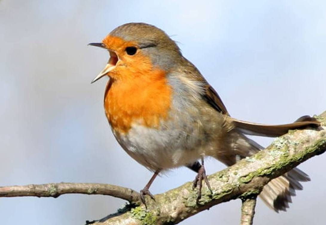Pin By Bickazer On Germany Birds Wild Birds Unlimited Pet Birds Robin Redbreast