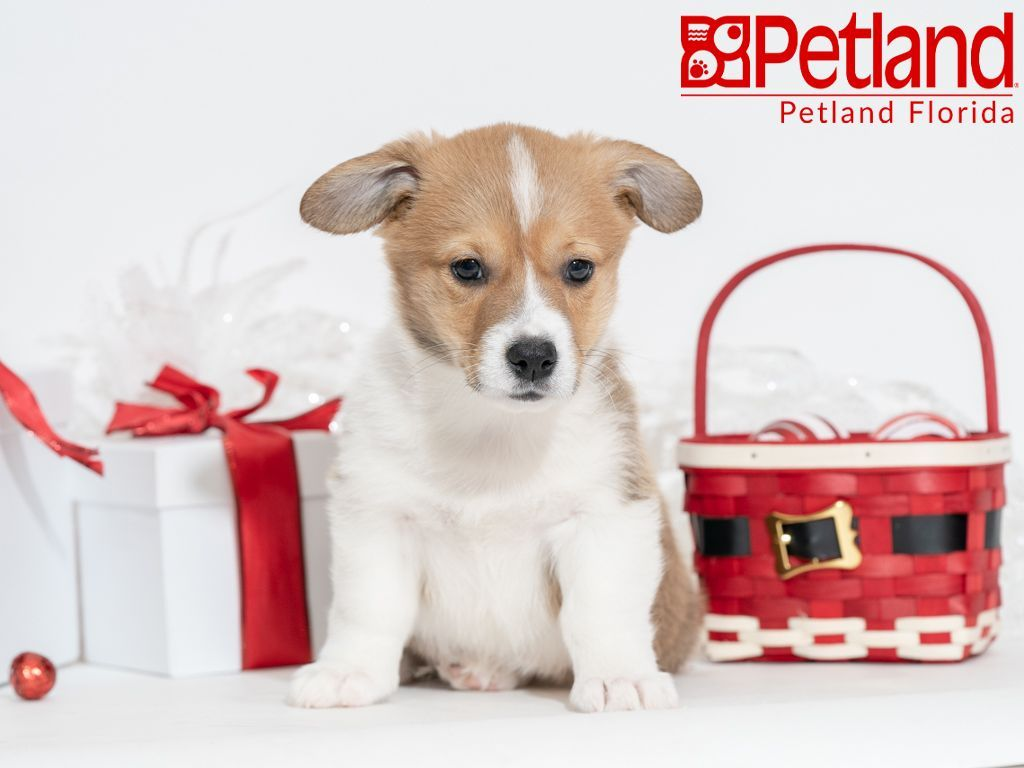 Petland Florida Has Pembroke Welsh Corgi Puppies For Sale Check Out