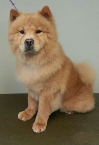 Adopt Sunny On Chow Chow Dogs Dogs Animals
