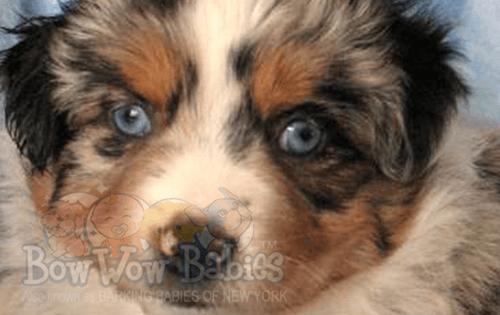 Puppies For Sale Huntington Long Island Ny Bowwow Babies Puppies For Sale Puppies Long Island Ny