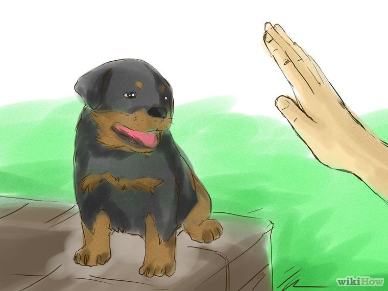 Train Your Rottweiler Puppy With Simple Commands Rottweiler