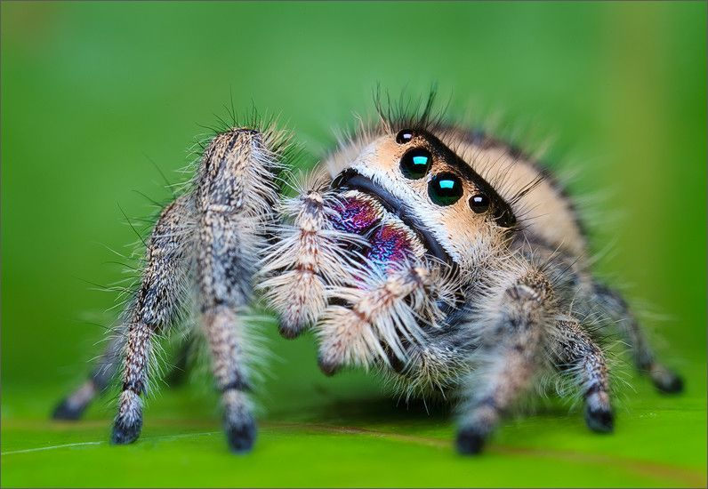 Regal Jumping spider (female) (Phidippus regius) — the