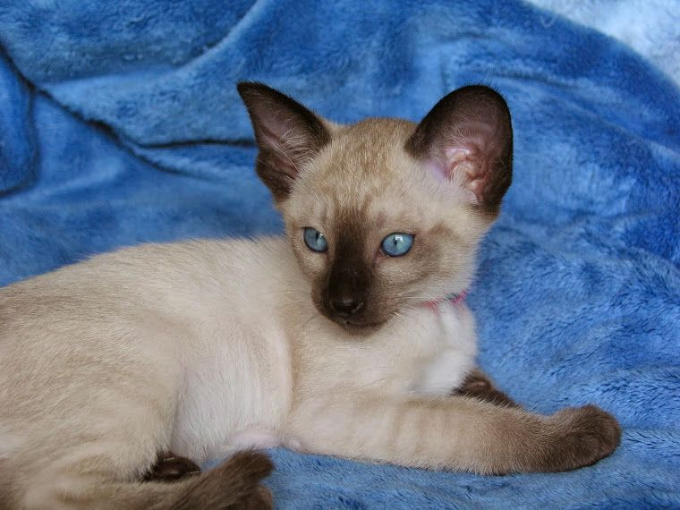 Carolina Blues Cattery Siamese Kittens For Sale In 2020 Siamese