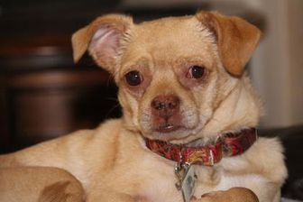 Chihuahua Pug Mix Dog For Adoption In Colorado Springs Colorado Timmy With Images Pet Adoption Dog Adoption Chihuahua Pug Mix