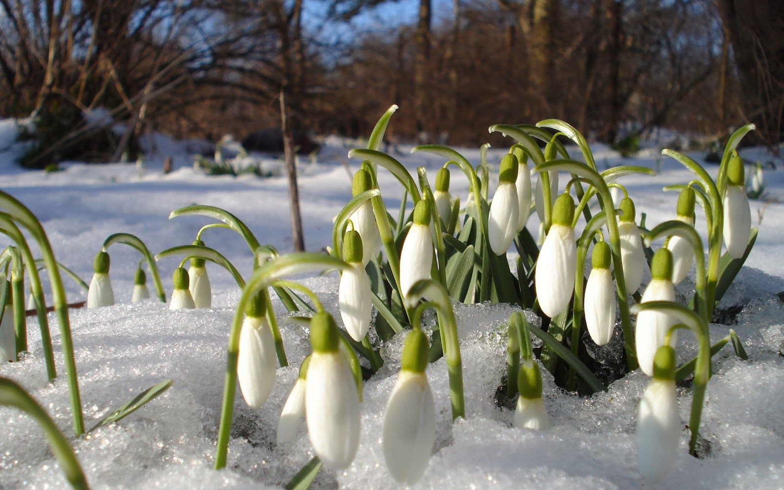 How To Plant And Grow Snowdrops With Images Spring Flowering Bulbs Early Spring Flowers Bulb Flowers