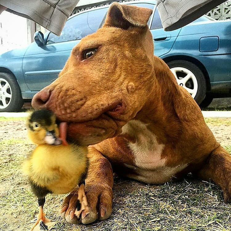 Just A Pittie Pup Giving Kisses To A Baby Duck Pitbull Nyc