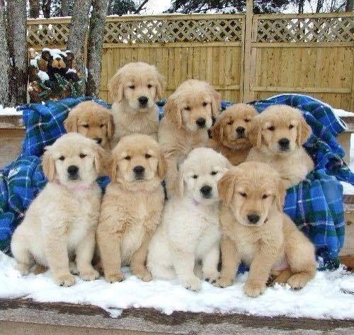 Golden Retriever Puppies Cute Puppies Puppies Cute Dogs