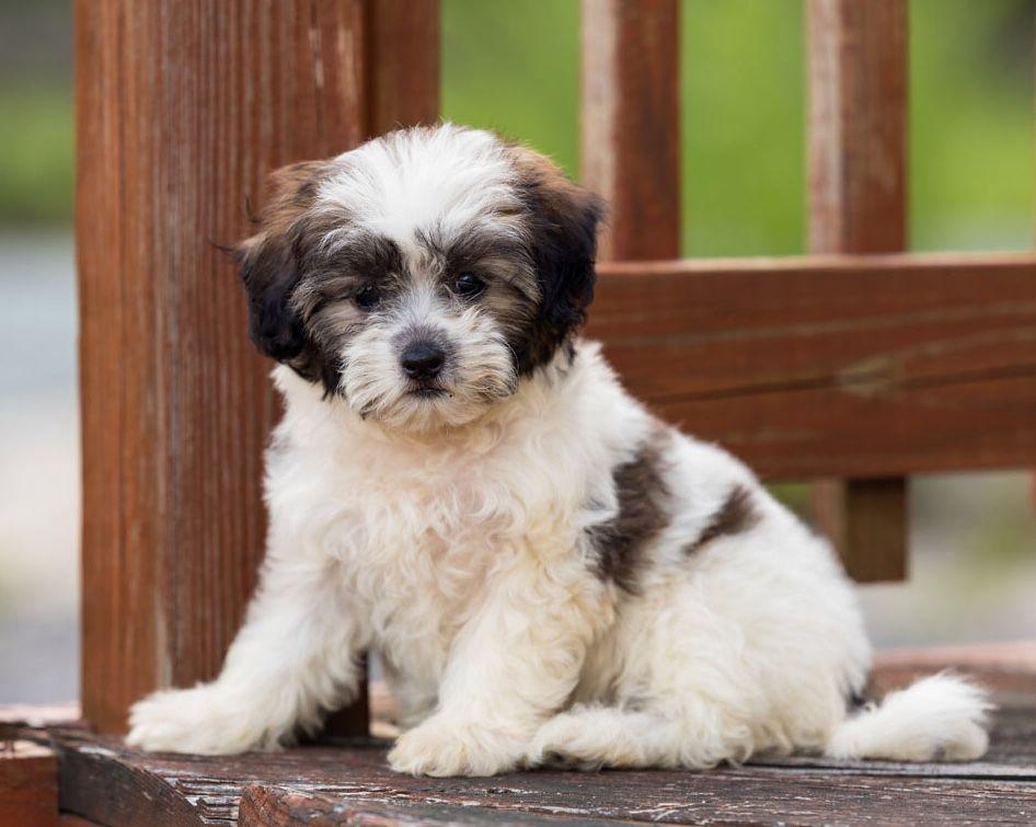 Pin By Kitti Pratt On Shichon Dogs Or Teddybear Shichon Puppies