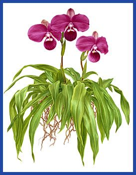 Ilustración de Santo orquídea (Phragmipedium kovachii) de Angela Mirro