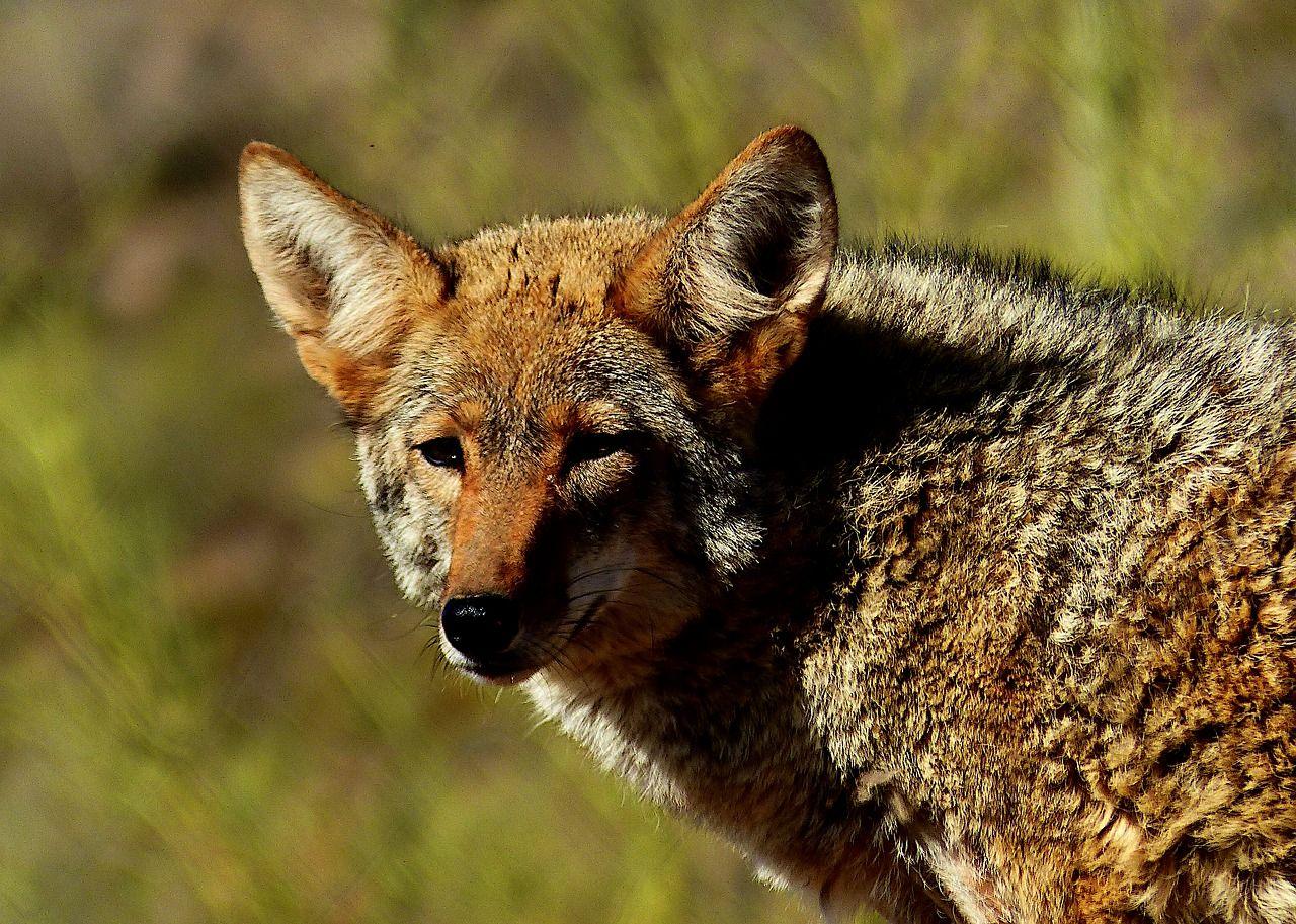 Free Image on Pixabay Animal, Coyote, Nature, Predator【2020】