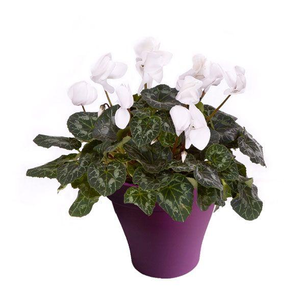 Cyclamen blanc avec cache pot violet   Plantes d\'intérieur avec ...