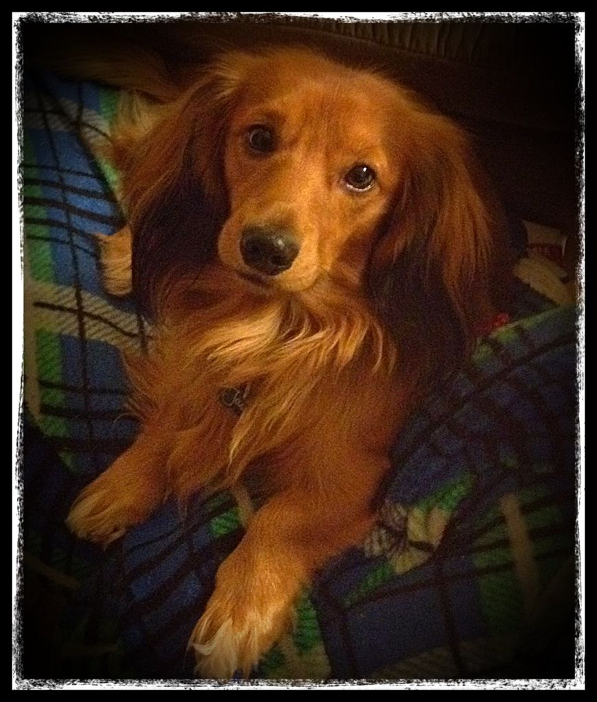 AKC Registered Miniature LongHaired Dachshund for stud