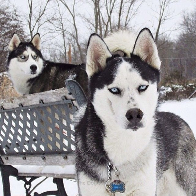 Siberian Huskies Siberian Husky Husky Breeds Dogs
